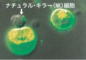 NK細胞の働き.jpg